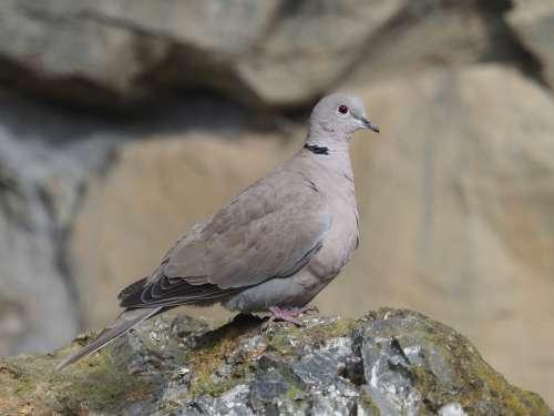 Pigeon Bird Animal Eye Beak Wings