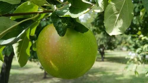 Natural Green Apple