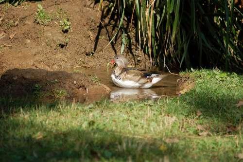 Ducks Water Birds Plumage Ducklings Brood Pond