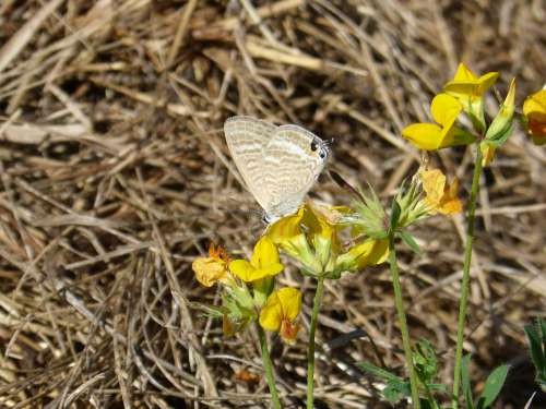 Butterfly Teenindusega Boeticus Blue Butterfly Libar