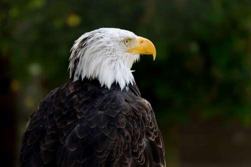 Bald Eagle Bird Haliaeetus Leucocephalus Raptor