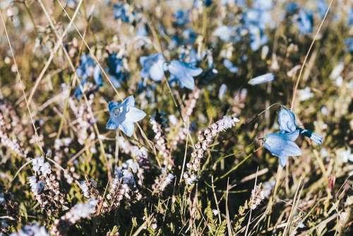 Bellflower Flower Blossom Bloom Blue Flora Pistil