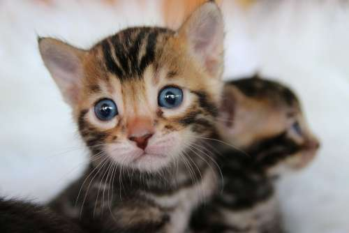 Bengal Cat Bengal Kitten Tiger Cat Predator