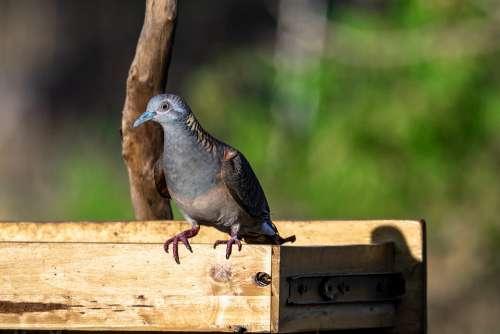 Bird Animal Wildlife Bronzewing Pigeon