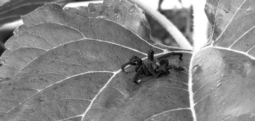 Black And White Insect Spider Leaf Colombia
