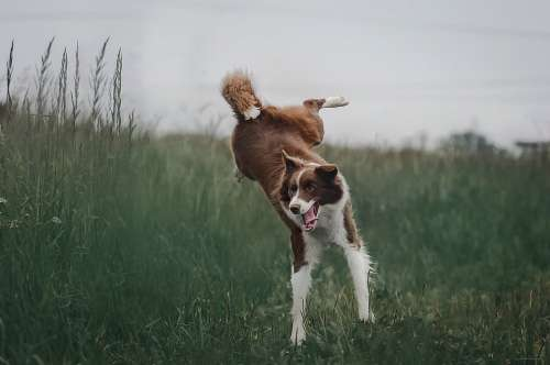 Border Collie Dog Go In The Summer Of Nature Jump