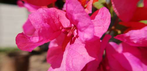 Bougainvilia Red Flowers Nature Red Bloom Plant