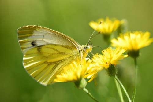 Cabbage White Butterfly Insect Wing Antennae Eye