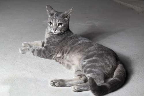 Cat Grey Pet Animal Kitten Cute Sweet Feline