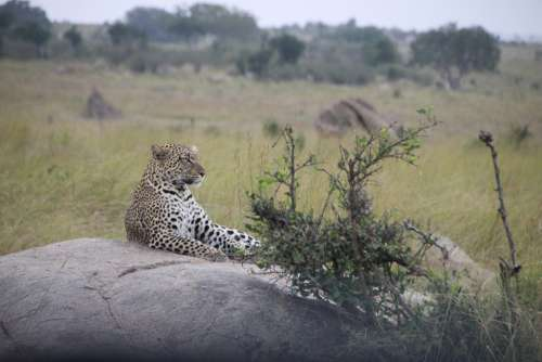 Cat Tanzania Safari Africa Animal Serengeti