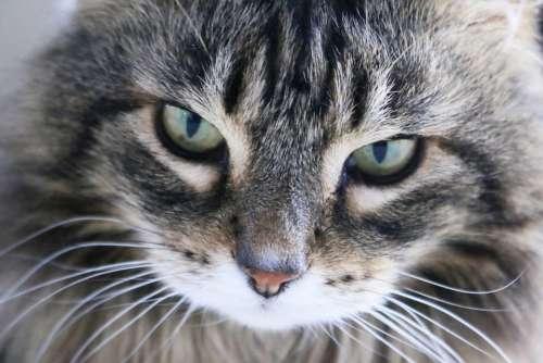 Cat Head Curious Curiosity Tiger Silver