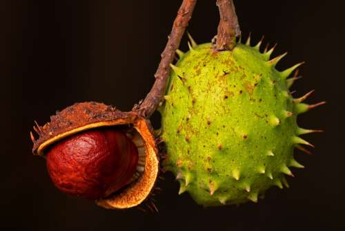 Chestnut Autumn Brown Buckeye Chestnut Fruit Plant