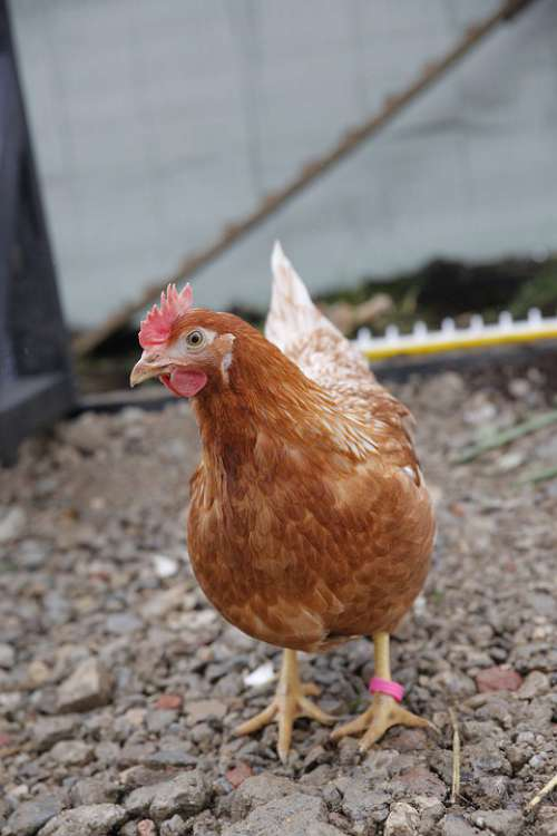 Chicken Huhn Industrie Hybrid Farming Animal Farm