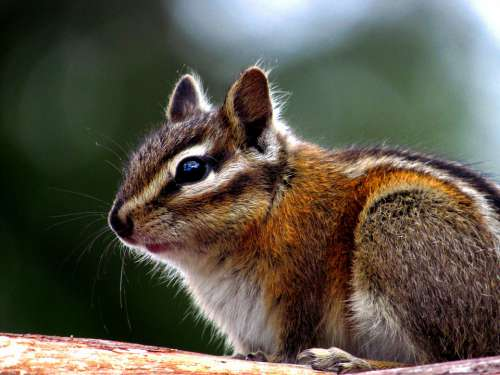 Chipmunk Rodent Cute Nature Furry Animal Wildlife