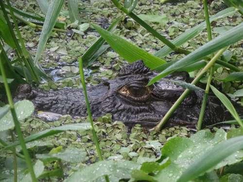 Crocodile Alligator Reptile Cayman