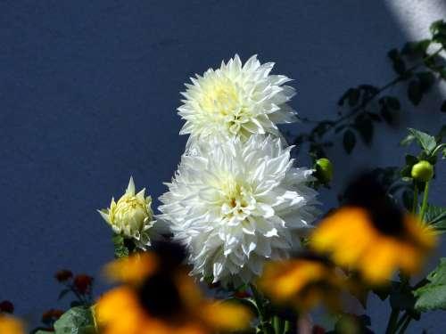 Dahlia Flower Blossom Bloom White Nature Plant