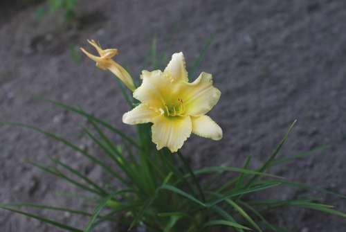 Daylilies Flower Summer Macro Pollen