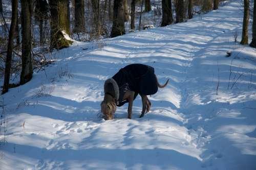 Dog Weimaraner Winter Snow Pet Nature Animal