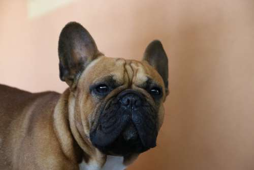 Dog Dog French Animal Pet Cute Bulldog Sweet