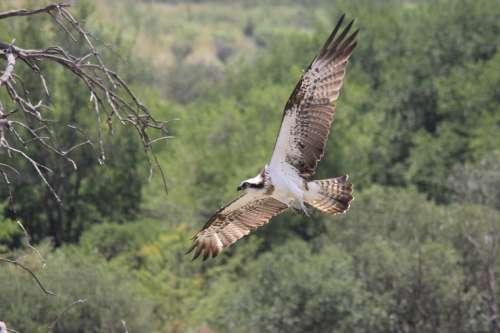 Eagle In Flight Africa Pilanesberg Feather Bird