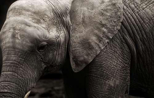 Elephants Animal Africa Safari Natural Wildlife