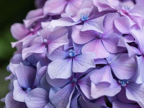 Flower Flowers Hydrangea Garden Close Up