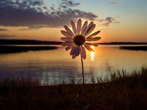 Flower Sunset Lake Plant Nature Summer Evening