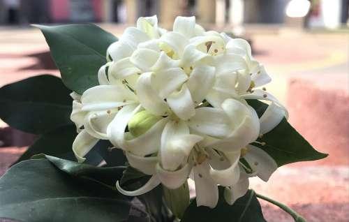 Flowers White Flower Spring Bloom Garden Plant