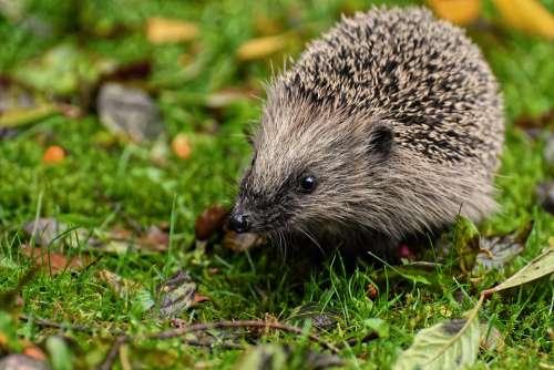 Hedgehog Animal Spur Nature Mammal Hannah Prickly