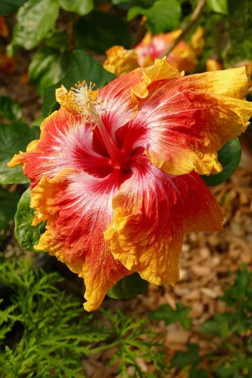 Hibiscus Pestle Stamen Propagation Flower Flora