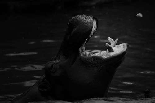 Hippo Zoo Mammal Water Animal Africa Safari