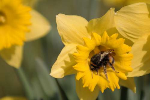 Hummel Bee Yellow Daffodil Sprinkle Narcissus