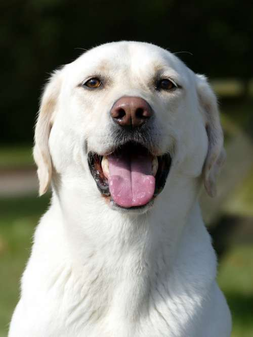 Labrador Dog Expensive Pets Happy