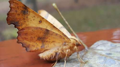 Lunar Moth Insect Moth Nature Animal Pattern Bug