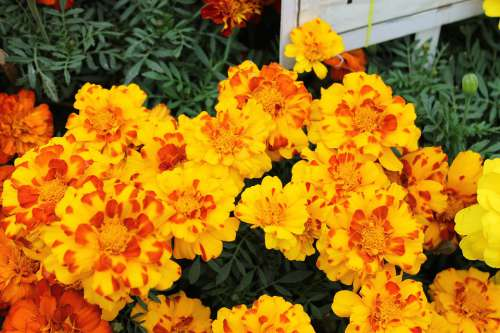 Marigold Flowers Garden Orange Summer Plant