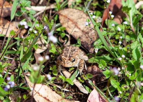 Mauritius Frog Frog Toad Amphibian Creature