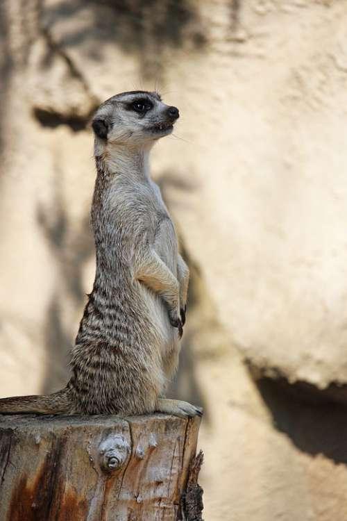 Meerkat Zoo Nature Cute Animal Mammal