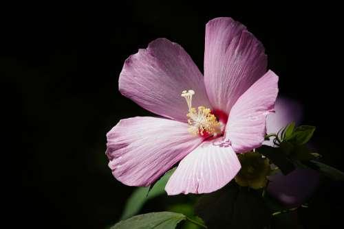 Mugunghwa Conicuri Flower Green Flowers Nature
