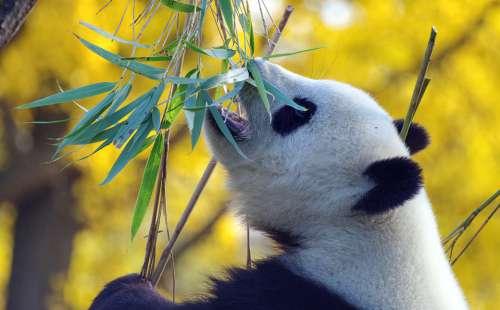Panda Bear Mammal China Threatened Zoo Bamboo