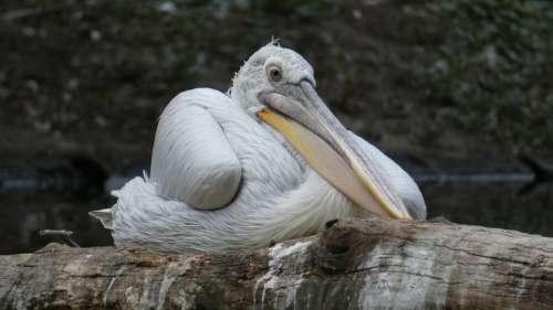 Pelikan Bird Nature Water Bird Animal Bill Water