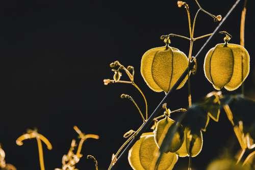 Physalis Plant Nachtschattengewächs Lantern