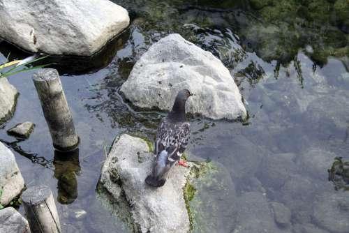 Pigeon Lake Streams Rock Nature New Water Animal