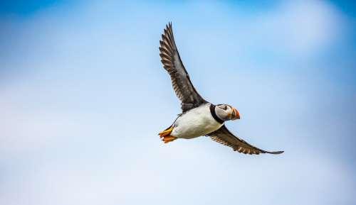 Puffin Bird Sea Flight Wildlife Fly Feather