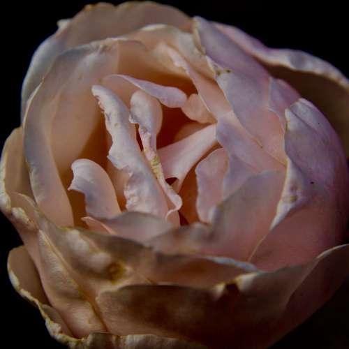Roses Rose Rosa Black Garden Dark Flowers Nature