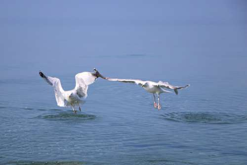 Seagull Gulls Bird Wing Sea Flying Sky Nature