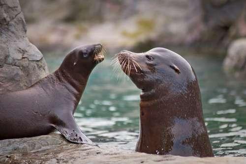 Seal Sea Lion Robbe Meeresbewohner Water