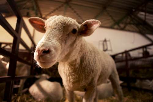 Sheep Head Lamb Nose Glance Look Domestic