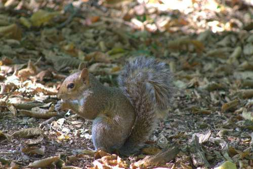 Squirrel Eat Rodent Nature Forest Hairy