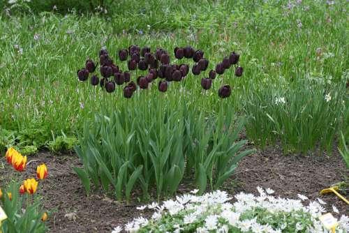 Tulip Black Garden Spring Flowers Tulips Flower