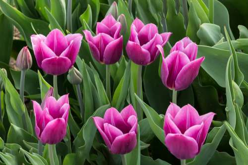 Tulips Violet Flowers Spring Beautiful